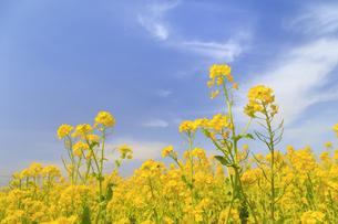 菜の花の群生と青空の写真素材 [FYI04299723]