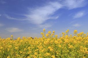 菜の花の群生と青空の写真素材 [FYI04299724]