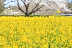 菜の花の群生と桜の写真素材 [FYI04299729]
