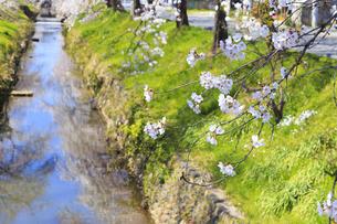 川のほとりに咲く桜の写真素材 [FYI04299732]