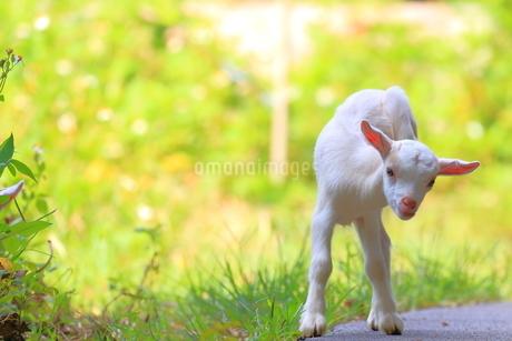 ヤギの写真素材 [FYI04299796]