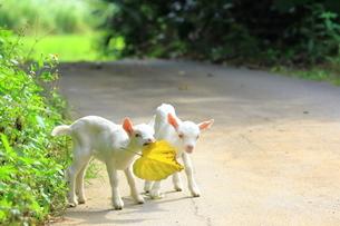 ヤギの写真素材 [FYI04299797]