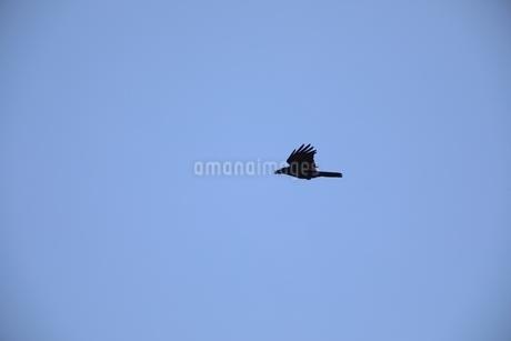 空飛ぶからすの写真素材 [FYI04299814]