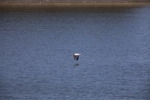 湖上のアオサギの写真素材 [FYI04299815]