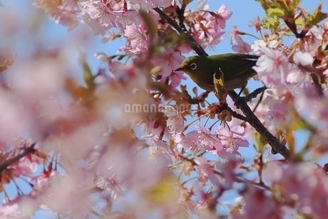 メジロと満開の桜の写真素材 [FYI04299826]