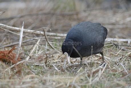 オオバンが枯れ草を食べるの写真素材 [FYI04299881]