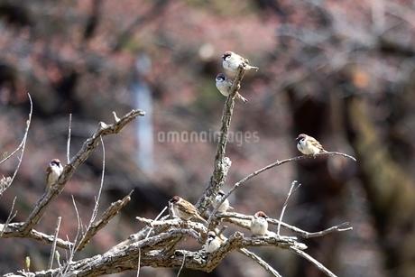 スズメの写真素材 [FYI04299894]