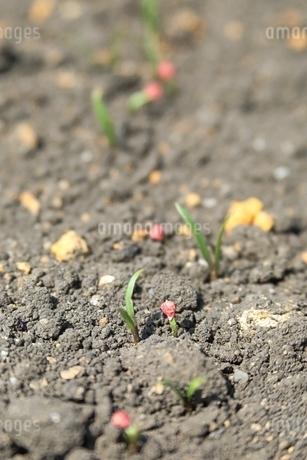野菜の種の発芽の写真素材 [FYI04300015]