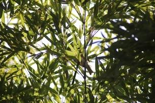 笹の葉の写真素材 [FYI04300016]