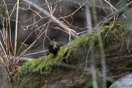 森の中のミソサザイの写真素材 [FYI04300055]