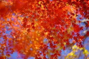 紅葉・秋・赤・日本・四季・自然の写真素材 [FYI04300147]