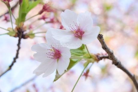 桜(Cherry Blossoms )の写真素材 [FYI04300224]