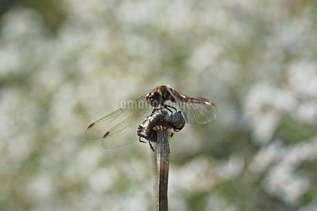 トンボの写真素材 [FYI04300282]