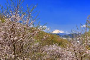 弘法山から望む桜と富士山の写真素材 [FYI04300309]