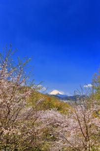 弘法山から望む桜と富士山の写真素材 [FYI04300311]