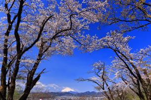 弘法山から望む桜と富士山の写真素材 [FYI04300314]