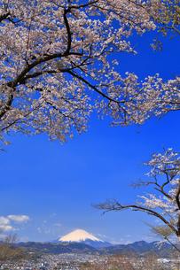 弘法山から望む桜と富士山の写真素材 [FYI04300316]