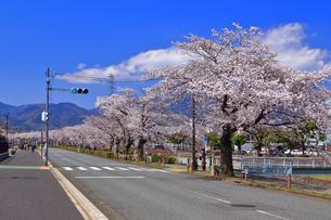 横断歩道と桜並木の写真素材 [FYI04300337]