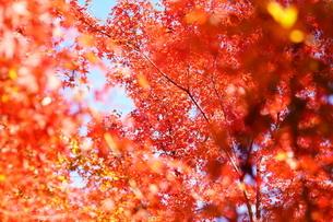 紅葉・秋・赤・日本・四季・自然の写真素材 [FYI04300389]