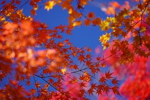 紅葉・秋・赤・日本・四季・自然の写真素材 [FYI04300434]