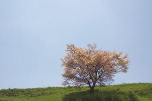 桜の写真素材 [FYI04300467]