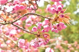 大振りの枝に咲いた桜の写真素材 [FYI04300571]