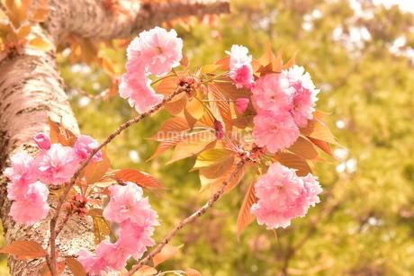 大振りの枝に咲いた桜の写真素材 [FYI04300573]