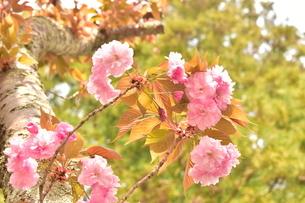 大振りの枝に咲いた桜の写真素材 [FYI04300574]