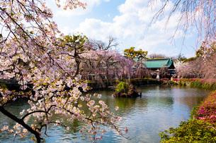 三嶋大社の桜の写真素材 [FYI04300645]