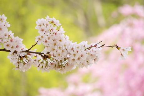 白っぽいピンク色のソメイヨシノと濃いピンクの枝垂れ桜、新緑の緑。の写真素材 [FYI04300946]