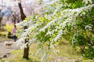ユキヤナギと桜咲く春の公園を散歩の写真素材 [FYI04300947]