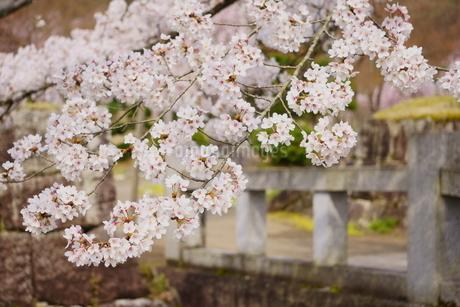 石橋と石垣のある公園に咲く満開の桜の写真素材 [FYI04300948]