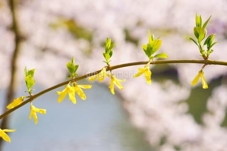 ピンク色の桜の手前に、黄色いレンギョウ咲く春の公園の写真素材 [FYI04300949]