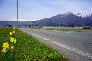 足元には黄色い水仙が咲き、遠くの山には雪が残る雪国の春の写真素材 [FYI04300950]