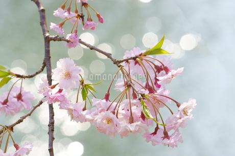 春の日差しが水面をキラキラさせる池とピンク色の桜の写真素材 [FYI04300951]