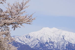 桜の花が咲き、雪山を彩る雪国の春の風景の写真素材 [FYI04300952]