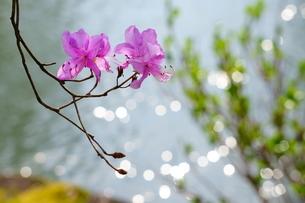 春の光を受けてキラキラした池の近くに咲くミツバツツジの写真素材 [FYI04300953]