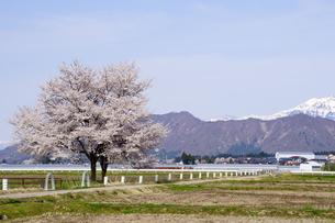 満開の桜の先に雪山を望む雪国の春の写真素材 [FYI04300954]