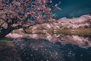 青森県・弘前市・弘前公園の桜(弘前さくらまつり)の写真素材 [FYI04300961]