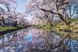 青森県・弘前市・弘前公園の桜(弘前さくらまつり)の写真素材 [FYI04300966]