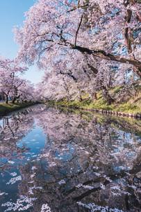 青森県・弘前市・弘前公園の桜(弘前さくらまつり)の写真素材 [FYI04300967]