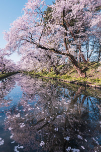 青森県・弘前市・弘前公園の桜(弘前さくらまつり)の写真素材 [FYI04300968]