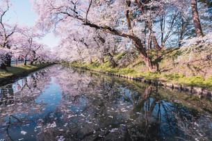 青森県・弘前市・弘前公園の桜(弘前さくらまつり)の写真素材 [FYI04300969]