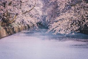 青森県・弘前市・弘前公園の桜と花筏(弘前さくらまつり)の写真素材 [FYI04300993]