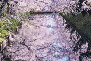 青森県・弘前市・弘前公園の桜(弘前さくらまつり)の写真素材 [FYI04301005]