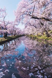 青森県・弘前市・弘前公園の桜(弘前さくらまつり)の写真素材 [FYI04301010]