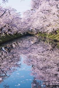 青森県・弘前市・弘前公園の桜(弘前さくらまつり)の写真素材 [FYI04301011]
