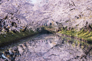 青森県・弘前市・弘前公園の桜(弘前さくらまつり)の写真素材 [FYI04301012]