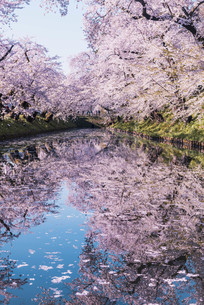 青森県・弘前市・弘前公園の桜(弘前さくらまつり)の写真素材 [FYI04301014]