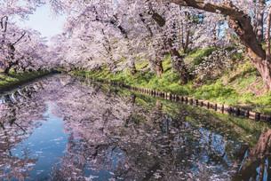 青森県・弘前市・弘前公園の桜(弘前さくらまつり)の写真素材 [FYI04301015]